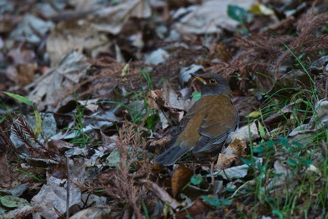 瀬上市民の森 ルリビタキの近くで採食していたシロハラ♂2 _DSC6735.jpg