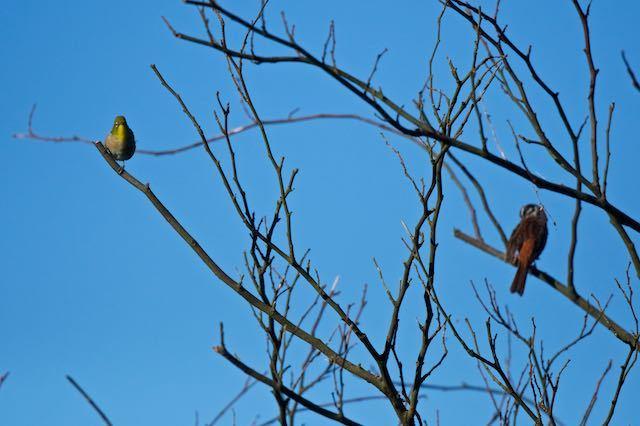 瀬上市民の森 今日も枯れ木にホオジロとメジロ _DSC0116.jpg