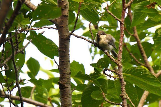 瀬上市民の森 前方を見るシジュウカラ幼鳥 _DSC0851.jpg