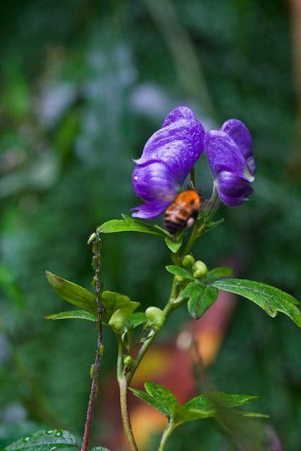 瀬上市民の森 咲き始めたトリカブト _DSC6833.jpg
