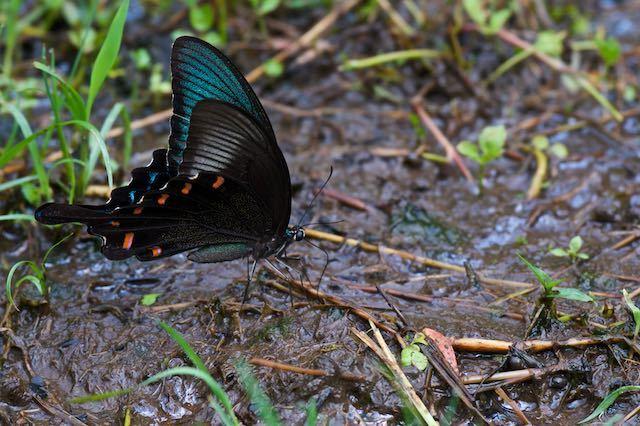 瀬上市民の森 地面で吸水するカラスアゲハ _DSC0166.jpg
