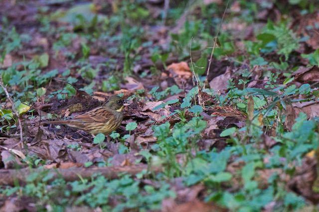 瀬上市民の森 地面で採食するアオジ♂1 _DSC6162.jpg