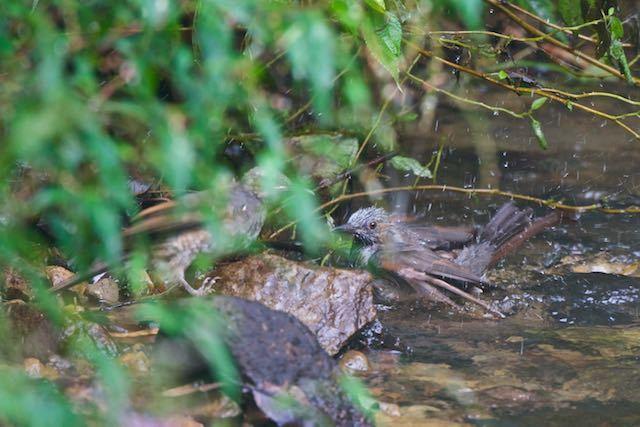 瀬上市民の森 小川で水浴びするヒヨドリ _DSC3338.jpg