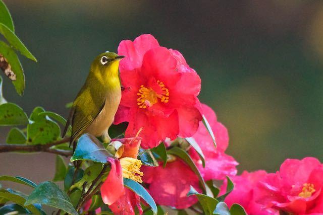 瀬上市民の森 山茶花を吸蜜していたメジロ _DSC2030.jpg