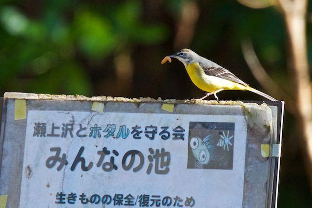 瀬上市民の森 幼虫を咥えたキセキレイ _DSC1186.jpg