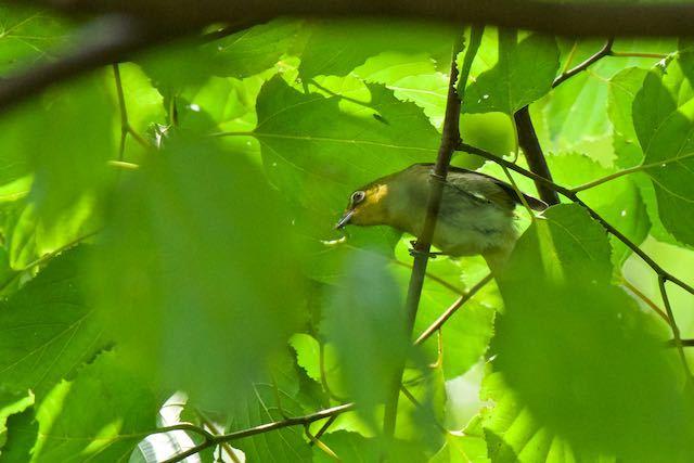 瀬上市民の森 幼虫を捕まえたメジロ _DSC8744.jpg