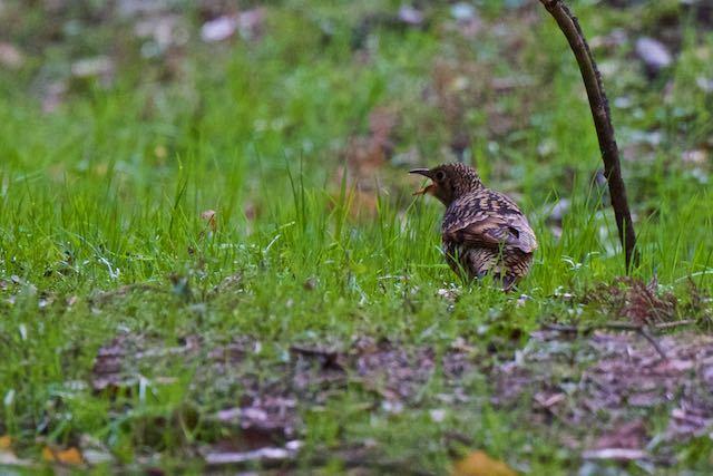瀬上市民の森 幼虫を食べるトラツグミ _DSC5716.jpg
