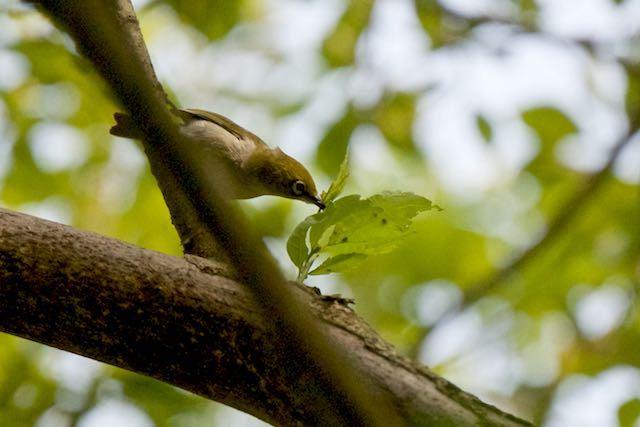 瀬上市民の森 採食するメジロ _DSC8404.jpg