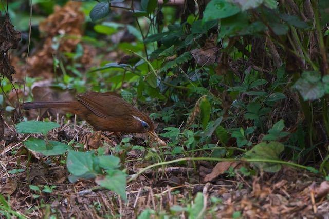 瀬上市民の森 採食中のガビチョウ _DSC9221.jpg