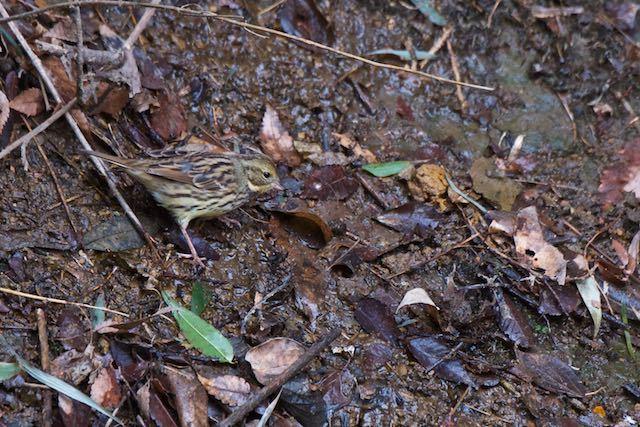 瀬上市民の森 斜面で採食するアオジ♀ _DSC6857.jpg