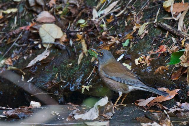 瀬上市民の森 日陰の小川の岸で採食していたシロハラ♂ _DSC5796.jpg