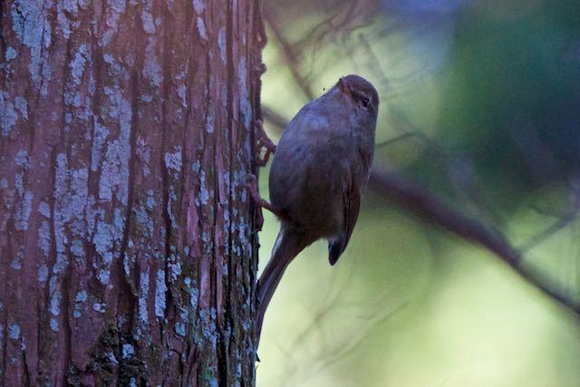 瀬上市民の森 日陰の杉林で出会ったウグイス1 _DSC1897.jpg