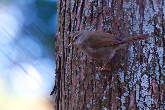 瀬上市民の森 日陰の杉林で出会ったウグイス2 _DSC1907.jpg