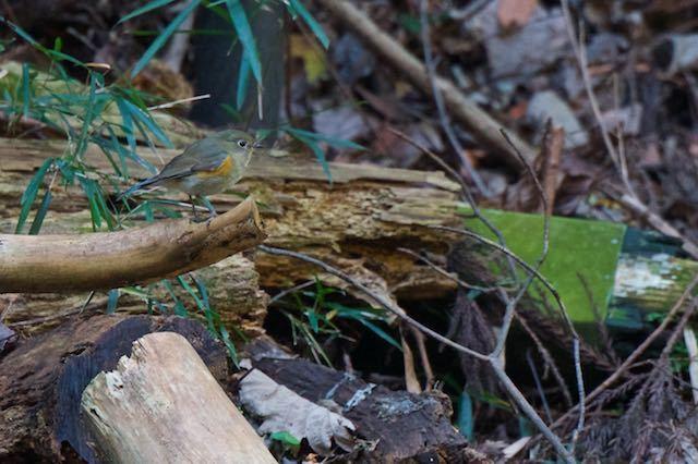瀬上市民の森 日陰の竹薮の近くの伐採木に止まるルリビタキ♀ _DSC6682.jpg