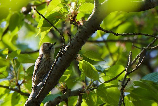 瀬上市民の森 桜で採食していたコゲラ _DSC7812.jpg