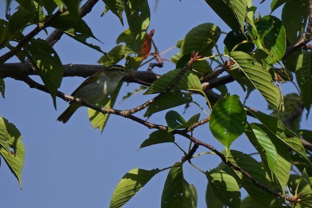 瀬上市民の森 桜で見られたセンダイムシクイ _DSC1966.jpg