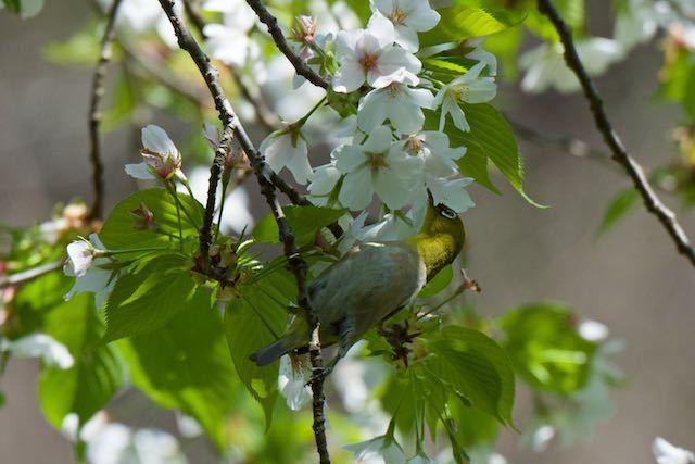 瀬上市民の森 桜の花蜜を吸うメジロ _DSC7899.jpg