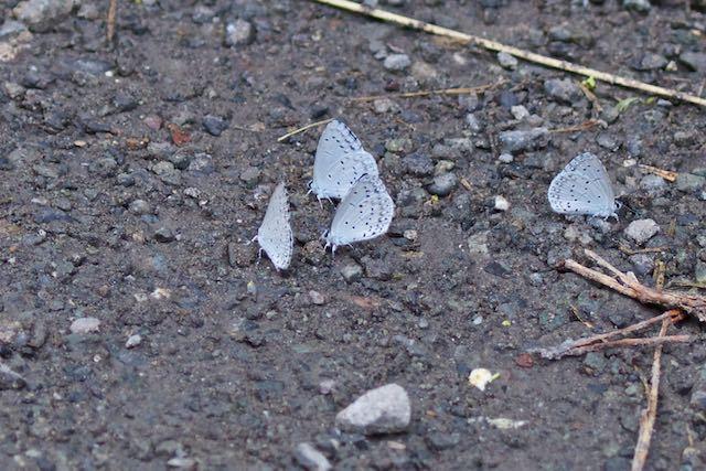 瀬上市民の森 歩道で吸水するルリシジミ _DSC7130.jpg