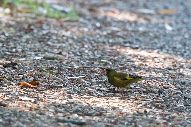 瀬上市民の森 歩道で採食するカワラヒワ♂ _DSC8094.jpg