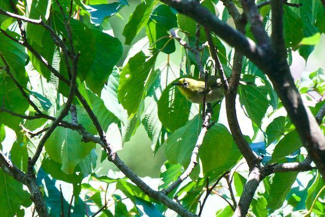 瀬上市民の森 池の上休憩所のアカメガシワで見られたメジロ _DSC5992.jpg