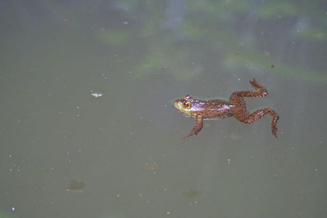 瀬上市民の森 池の上休憩所の濾過池で沢山見られるウシガエル _DSC3688.jpg