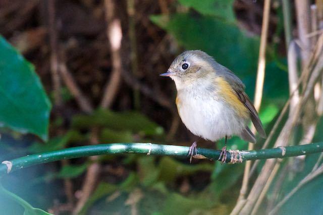 瀬上市民の森 池の下広場のアオキに止まるルリビタキ♂若鳥 _DSC4874.jpg