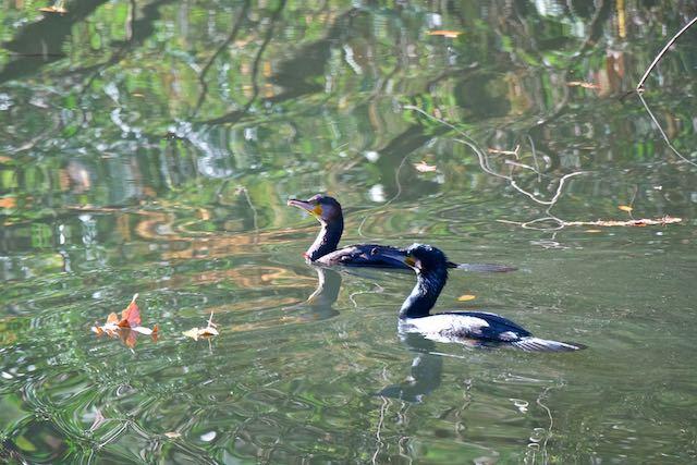 瀬上市民の森 池の2羽のカワウ _DSC2388.jpg
