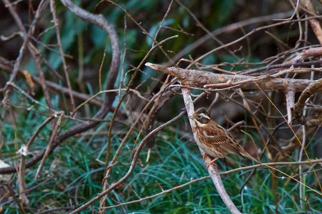 瀬上市民の森 湿地で採食していたカシラダカ _DSC6204.jpg