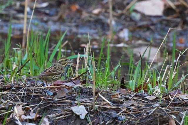 瀬上市民の森 湿地で採食するアオジ♀ _DSC5817.jpg
