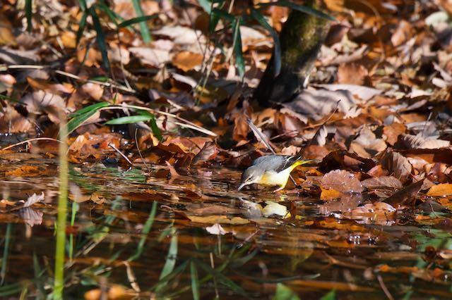 瀬上市民の森 湿地で採食するキセキレイ _DSC3956.jpg