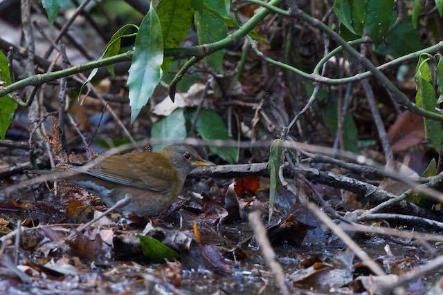 瀬上市民の森 湿地で採食するシロハラ _DSC5544.jpg