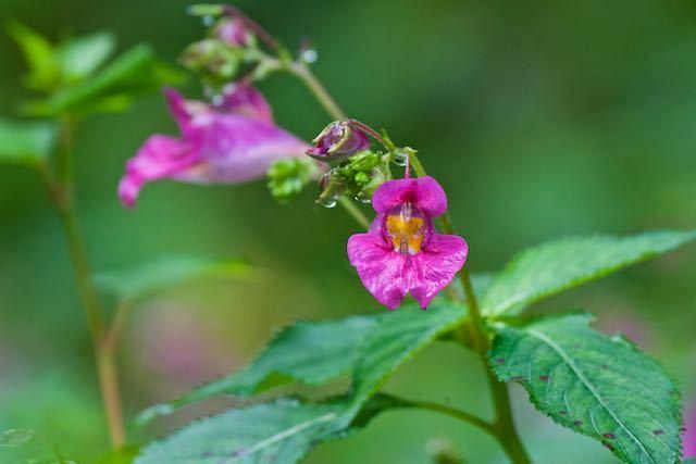 瀬上市民の森 湿地に咲くツリフネソウ _DSC5591.jpg