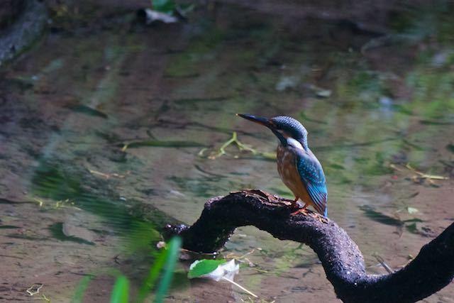 瀬上市民の森 漆窪休憩所の池のカワセミ _DSC3214.jpg