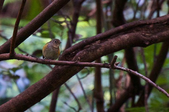 瀬上市民の森 漆窪休憩所周辺で見られたルリビタキ♀ _DSC5739.jpg