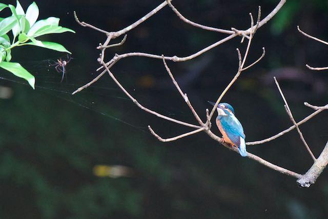 瀬上市民の森 瀬上池のカワセミ _DSC2402.jpg