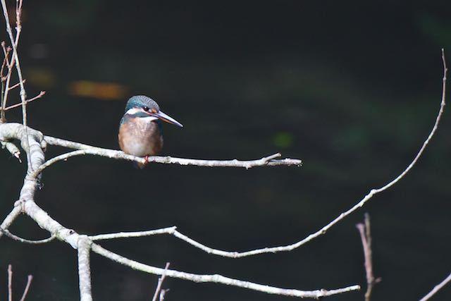 瀬上市民の森 瀬上池のカワセミ _DSC3327.jpg