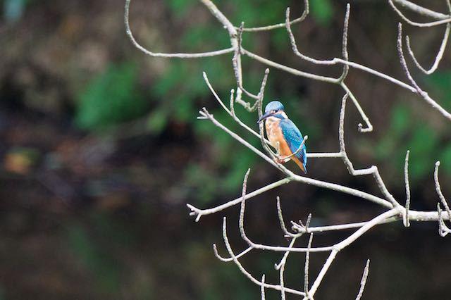 瀬上市民の森 瀬上池のカワセミ _DSC9172.jpg
