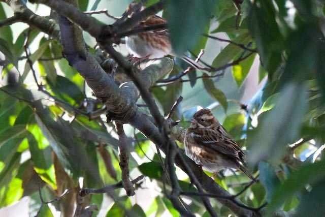 瀬上市民の森 瀬上池の斜面の常緑樹に止まる2羽のカシラダカ _DSC9725.jpg .jpg
