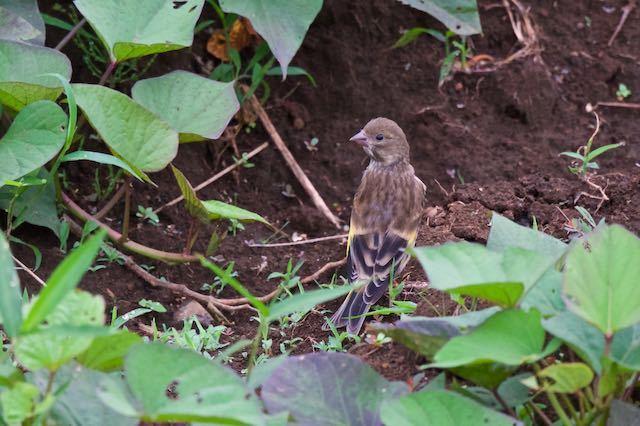 瀬上市民の森 畑に降りたカワラヒワ幼鳥 _DSC6181.jpg