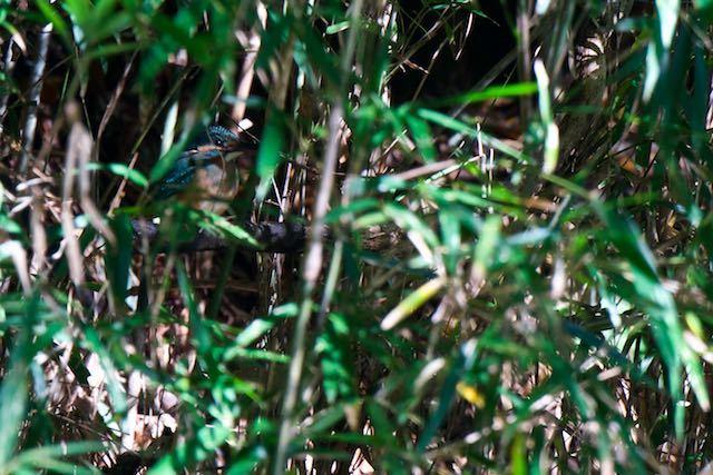 瀬上市民の森 竹薮に隠れていたカワセミ _DSC8019.jpg