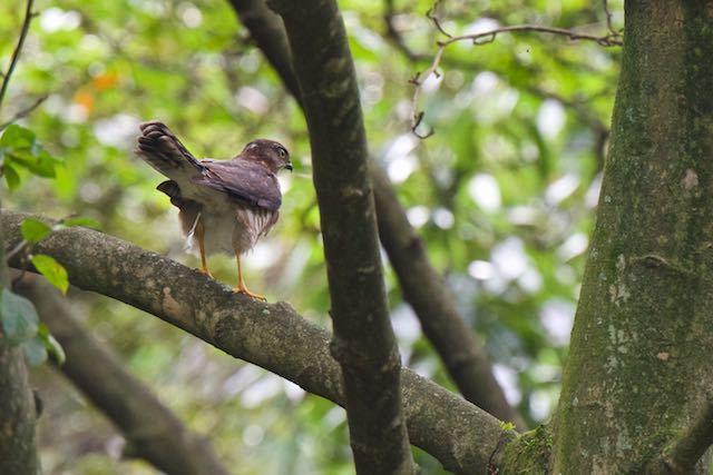 瀬上市民の森 糞をしたツミ幼鳥 _DSC3430.jpg