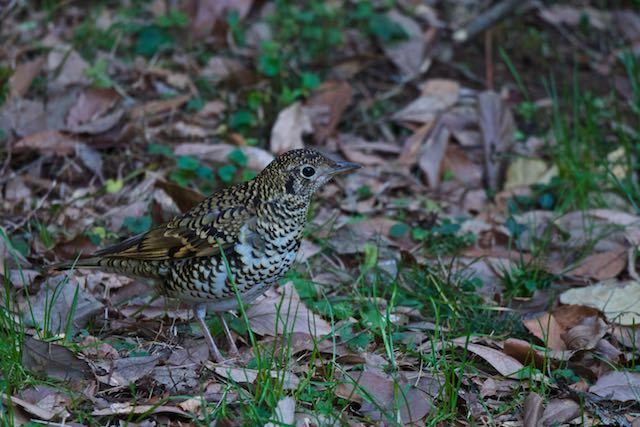 瀬上市民の森 至近距離に歩いて来たトラツグミ3 _DSC6359.jpg
