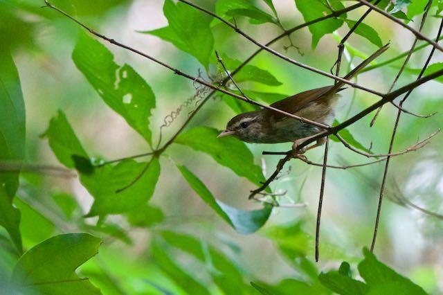 瀬上市民の森 藪の中で見られたウグイス _DSC0708.jpg