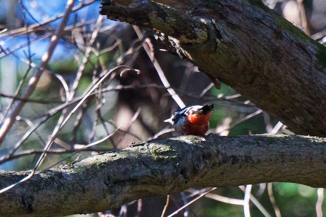 瀬上市民の森 行き止まりの湿地で出会ったアカゲラ _DSC5343.jpg
