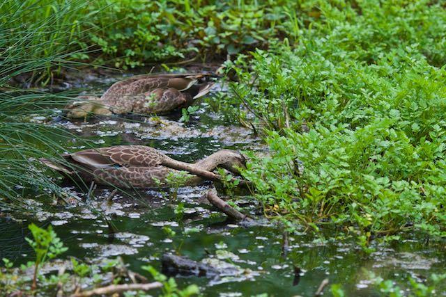 瀬上市民の森 行き止まりの湿地で採食するカルガモ _DSC2965.jpg