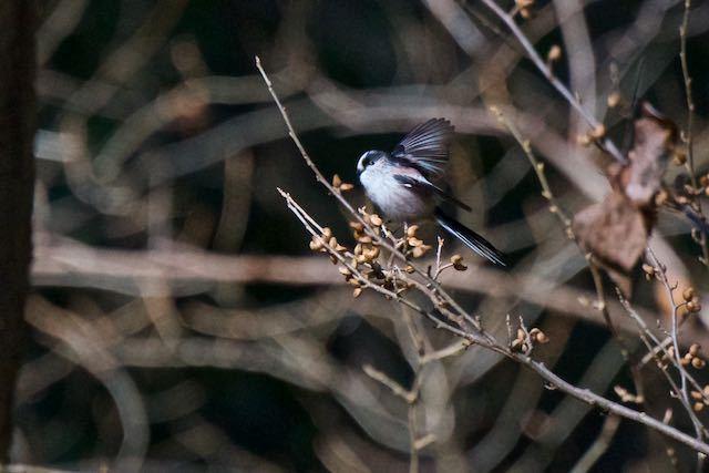 瀬上市民の森 行き止まりの湿地で群れで見られたエナガ _DSC5340.jpg