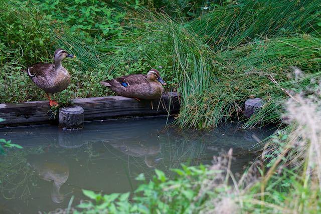 瀬上市民の森 行き止まりの湿地付近で休息するカルガモ _DSC9220.jpg