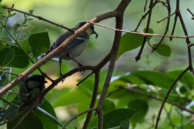 瀬上市民の森 親から昆虫をもらったシジュウカラ幼鳥 _DSC4853.jpg