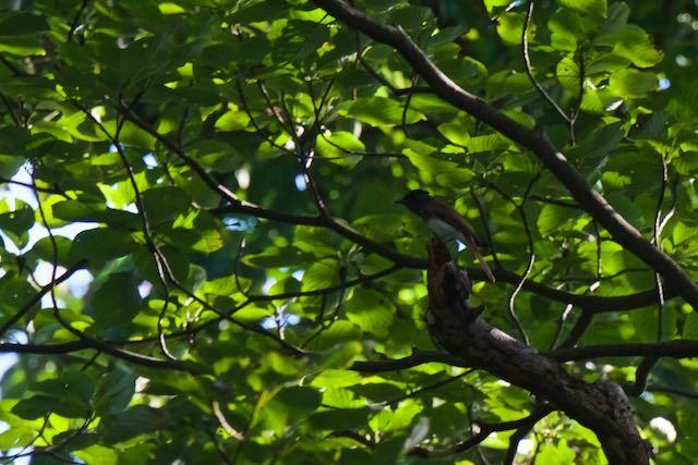 瀬上市民の森 証拠写真(サンコウチョウ) _DSC2089.jpg