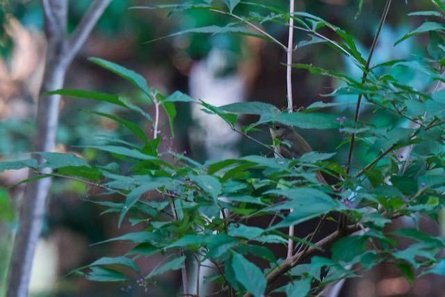 瀬上市民の森 谷から飛んで来たキビタキ♀タイプ _DSC9489.jpg